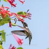 Hummingbirds 17 July 2017 -1714