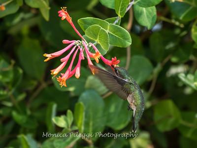 Hummingbirds 17 July 2017 -1682