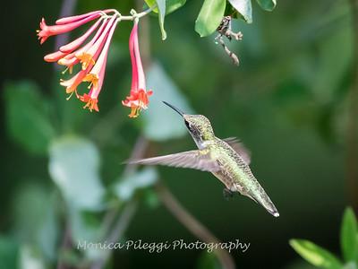 Hummingbirds 17 July 2017 -1757