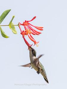 Hummingbirds 17 July 2017 -1673