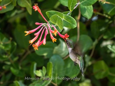 Hummingbirds 17 July 2017 -1681