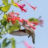 Hummingbirds 17 July 2017 -1699