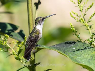 Hummingbird 29 Aug 2019-8641