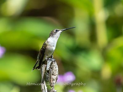 Hummingbird 29 Aug 2019-8645