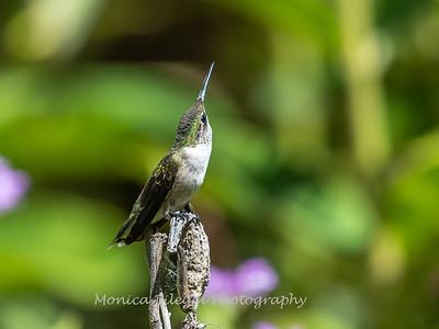 Hummingbird 29 Aug 2019-8648