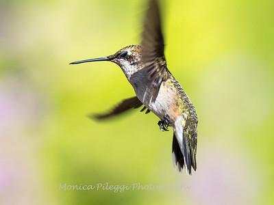 Hummingbird 29 Aug 2019-8500