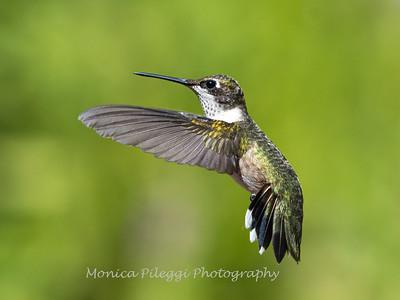 Hummingbird 29 Aug 2019-8687