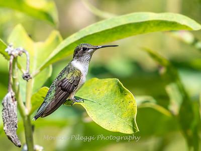 Hummingbird 29 Aug 2019-8657