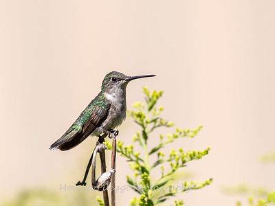 Hummingbird 29 Aug 2019-8612