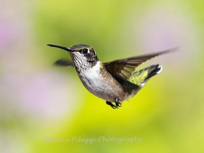 Hummingbird 29 Aug 2019-8491