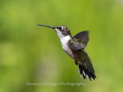 Hummingbird 29 Aug 2019-8686