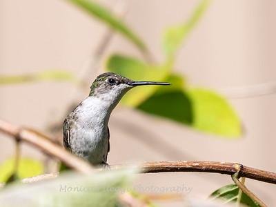 Hummingbird 29 Aug 2019-8568