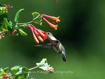 Hummingbirds 11 June 2019-1730