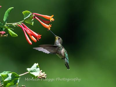 Hummingbirds 11 June 2019-1731