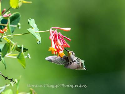 Hummingbirds 11 June 2019-1735