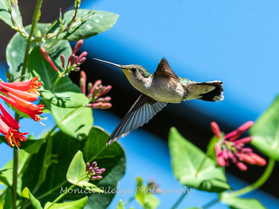 Hummingbirds 11 June 2019-1689