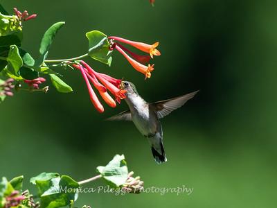 Hummingbirds 11 June 2019-1728