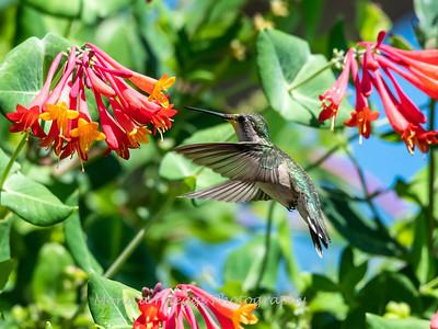 Hummingbirds 11 June 2019-1705