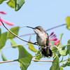 Hummingbirds Pax N Tract 29 July 2018-2645
