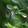 Hummingbirds Pax N Tract 29 July 2018-2654
