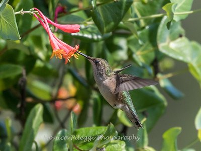 Hummingbirds Pax N Tract 29 July 2018-2766