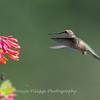Hummingbirds Pax N Tract 29 July 2018-2748