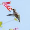 Hummingbirds Pax N Tract 29 July 2018-2732