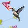 Hummingbirds Pax N Tract 29 July 2018-2733