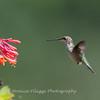 Hummingbirds Pax N Tract 29 July 2018-2749