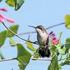 Hummingbirds Pax N Tract 29 July 2018-2648