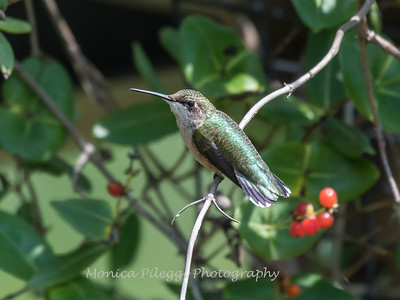 Hummingbirds Pax N Tract 29 July 2018-2704