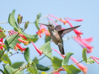 Hummingbirds Pax N Tract 29 July 2018-2744