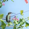 Hummingbirds Pax N Tract 29 July 2018-2670