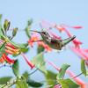 Hummingbirds Pax N Tract 29 July 2018-2743