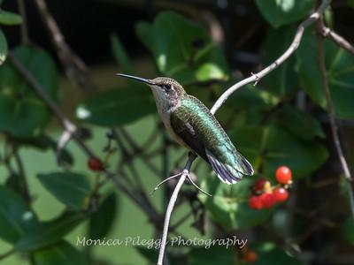 Hummingbirds Pax N Tract 29 July 2018-2698