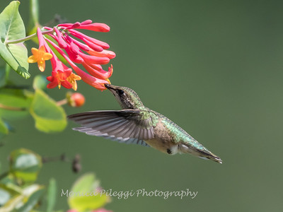 Hummingbirds Pax N Tract 29 July 2018-2754
