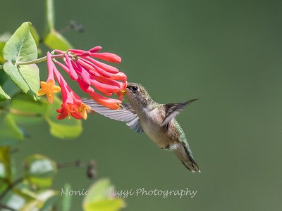 Hummingbirds Pax N Tract 29 July 2018-2752