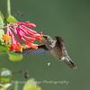 Hummingbirds Pax N Tract 29 July 2018-2753