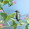 Hummingbirds Pax N Tract 29 July 2018-2664
