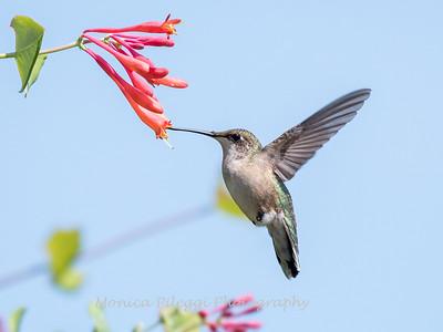 Hummingbirds Pax N Tract 29 July 2018-2736