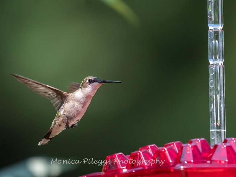 Hummingbirds 2 Aug 2017 -2846