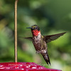 Hummingbirds 2 Aug 2017 -2983
