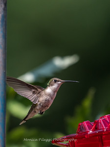 Hummingbirds 2 Aug 2017 -2875
