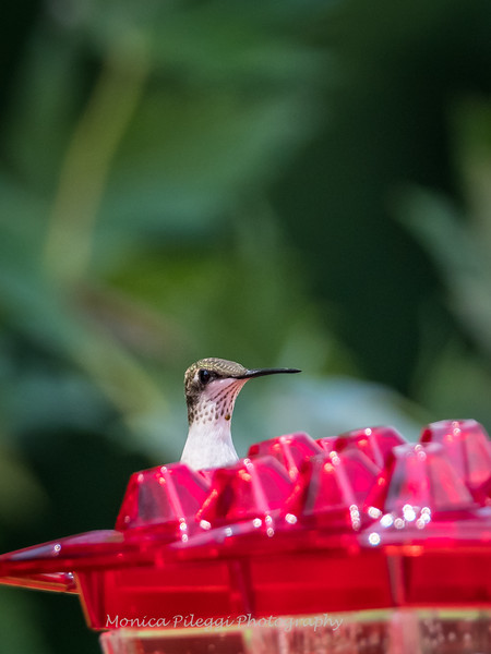 Hummingbirds 2 Aug 2017 -2913
