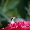 Hummingbirds 2 Aug 2017 -2913