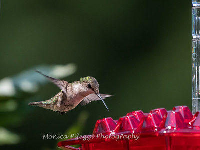 Hummingbirds 2 Aug 2017 -2868