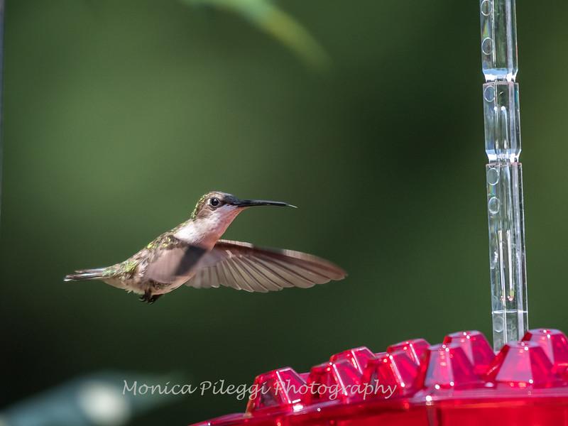 Hummingbirds 2 Aug 2017 -2845
