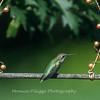Hummingbirds 2 Aug 2017 -2987