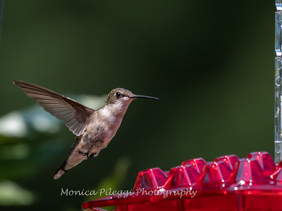 Hummingbirds 2 Aug 2017 -2867