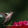 Hummingbirds 2 Aug 2017 -2867